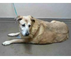 Found 10Yr Female Gold Lab