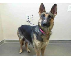 Found 3Yr Female Black Tan Shepherd