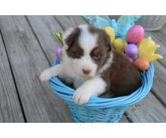 two lovely australian shepherd puppies