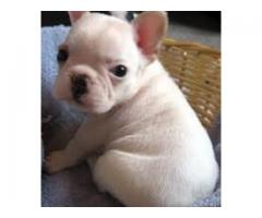 male and female french bull puppies